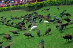 Pauwen op het gras Royalty-vrije Stock Afbeeldingen
