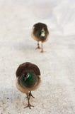 Pauwinnen uit voor een gang Royalty-vrije Stock Afbeeldingen