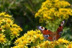 Pauwvlinder Royalty-vrije Stock Afbeeldingen