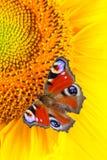 Pauwvlinder Aglais die io op zonnebloemen macro, verticale richtlijn voeden royalty-vrije stock afbeeldingen