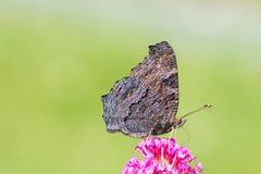 Pauwvlinder die nectar verzamelen Stock Afbeeldingen