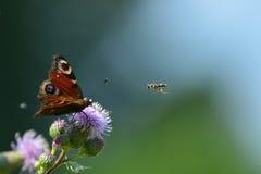 Pauwvlinder en wesp Royalty-vrije Stock Foto