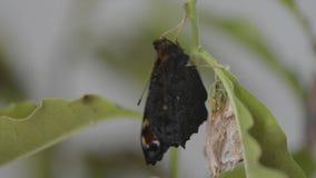 Pauwvlinder het te voorschijn komen stock video