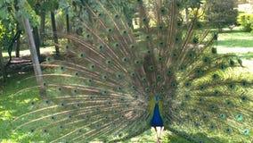 Pavão azul inget Brasilien Arkivfoton