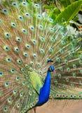 Pavão 9 Imagens de Stock Royalty Free