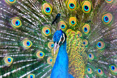 Pavão Foto de Stock Royalty Free