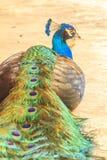Pavão azul bonito Fotografia de Stock