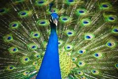 Pavão azul bonito com as penas abertas coloridas Foto de Stock