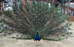 Pavão azul indiano da dança Imagens de Stock Royalty Free