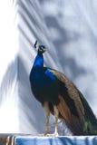Pavão azul indiano (Pavo Cristatus) Foto de Stock