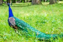 Pavão azul que anda na grama verde em um parque Imagem de Stock