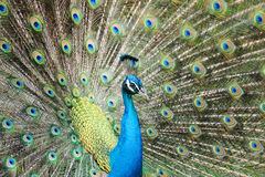 Pavão bonito Foto de Stock Royalty Free