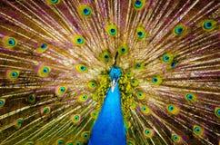 Pavão bonito Fotografia de Stock Royalty Free