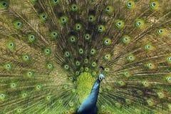 Pavão bonito Imagem de Stock