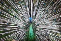 Pavão bonito no jardim zoológico Imagens de Stock