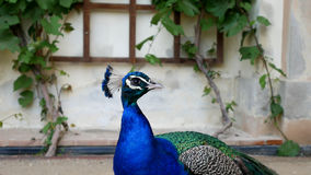 Pavão bonito no jardim zoológico Retrato de um pássaro com plumagem azul brilhante no pescoço foto de stock