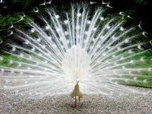Pavão branco Foto de Stock Royalty Free