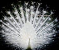 Pavão branco Foto de Stock