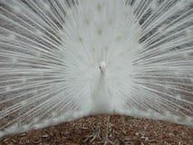 Pavão branco imagem de stock