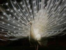 Pavão branco Fotografia de Stock