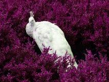 Pavão branco Fotos de Stock Royalty Free