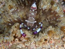 Pavão-cauda Anemone Shrimp, brevicarpalis de Periclimenes Sulawesi norte, Indonésia fotografia de stock royalty free