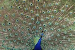 Pavão colorido Imagens de Stock