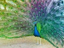 Pavão colorido Imagem de Stock