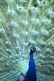 Pavão colorido na pena cheia Fotos de Stock Royalty Free