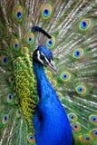 Pavão colorido na pena cheia. Imagens de Stock
