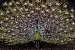 Pavão colorido Imagens de Stock Royalty Free