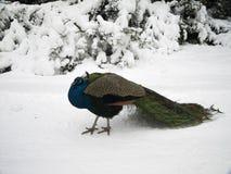 Pavão com a cauda na neve fotografia de stock royalty free