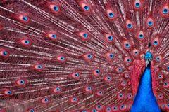 Pavão com penas vermelhas Fotos de Stock Royalty Free