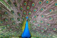 Pavão com uma cauda Fotografia de Stock Royalty Free