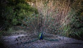 Pavão com uma cauda colorida no fundo dos arbustos fotos de stock royalty free