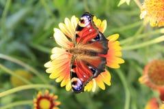 Pavão da borboleta fotografia de stock