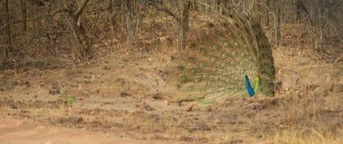 Pavão da dança na selva de Bhandavgarh Foto de Stock Royalty Free