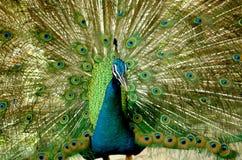 Pavão de Colourfull foto de stock royalty free
