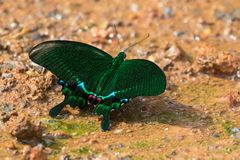 Pavão de Paris, borboleta do swallowtail no verde em Khao Yai, Nakhon Ratchasima, Korat, Tailândia fotografia de stock