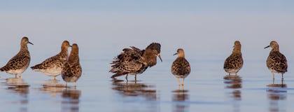 Pavão-do-mar - pugnax do Philomachus/pugnax do Calidris - grupo de pássaros Foto de Stock