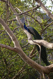 Pavão em uma árvore fotografia de stock
