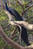 Pavão em uma árvore fotografia de stock royalty free