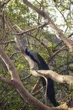 Pavão em uma árvore imagem de stock royalty free