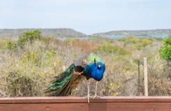Pavão em uma cerca Curacao Views imagem de stock