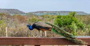 Pavão em uma cerca Curacao Views fotos de stock
