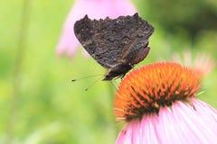 Pavão europeu da borboleta (Inachis io) na flor do rudbeckia Fotos de Stock