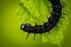 Pav?o europeu de Aglais io da borboleta de pav?o imagens de stock royalty free