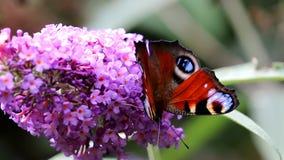 Pavão europeu do rastejamento sobre a flor cor-de-rosa de Buddleja