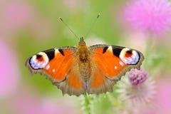Pavão europeu, Inachis io, borboleta vermelha com os olhos que sentam-se na flor cor-de-rosa na natureza Cena do ver?o do prado fotos de stock