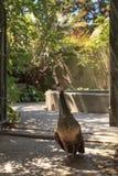 Pavão fêmea, cristatus do Pavo Foto de Stock Royalty Free